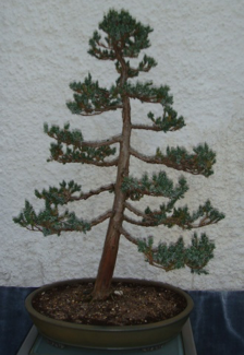 Meyer Juniper2