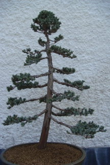 Meyer Juniper3