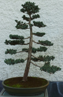Meyer Juniper4