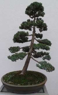 Meyer Juniper5