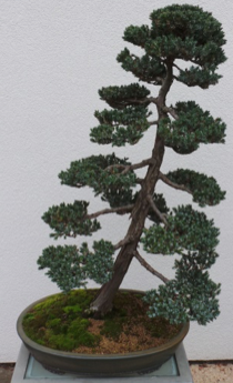Meyer Juniper6