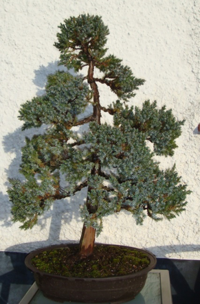 Meyer Juniper1